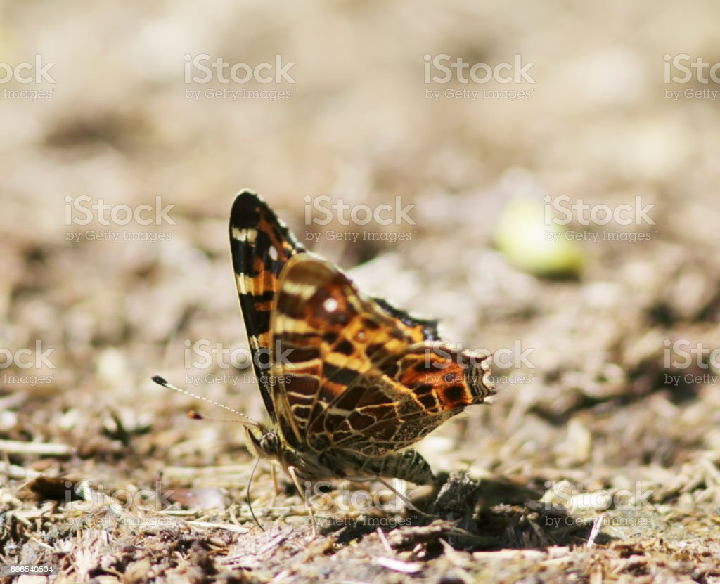 Map Butterfly (Araschnia levana) 1st Generation on Dung foto stock royalty-free