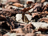 Map butterfly (Araschnia levana)from second generation sitting on a ground between stones and leaves