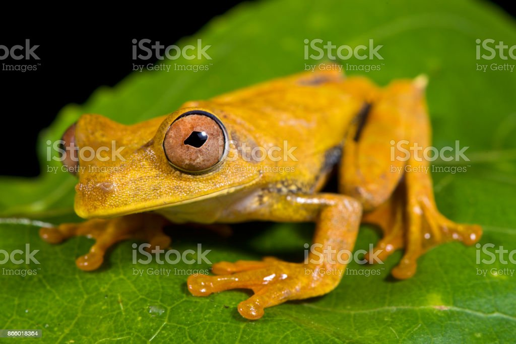 Map tree frog, Hypsiboas geographicus stock photo