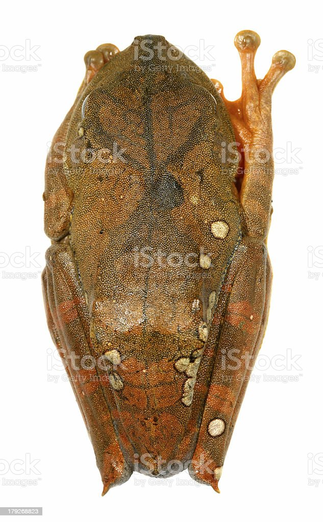 Map treefrog (Hypsiboas geographicus) stock photo