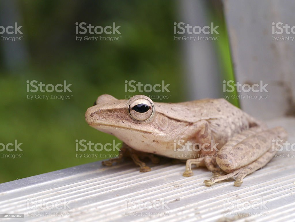 Map treefrog (Hypsiboas geographicus) Tropical zone, Thailand. stock photo