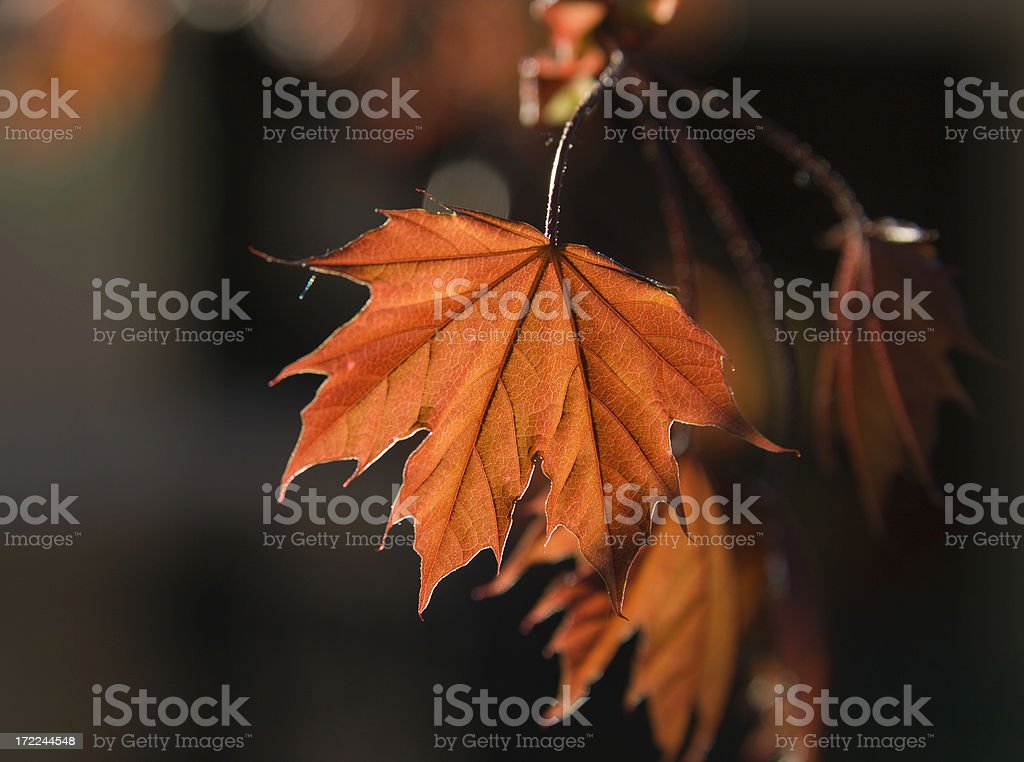 Maple Afternoon royalty-free stock photo