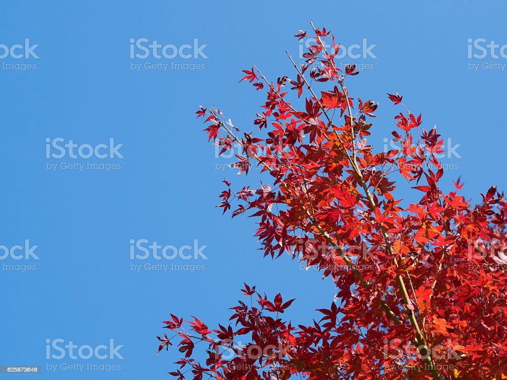 Maple and blue sky ストックフォト