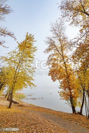 Maple and poplar on the shore of the Dniper river, in autumn, in the Obolon district of Kiev, Ukraine.