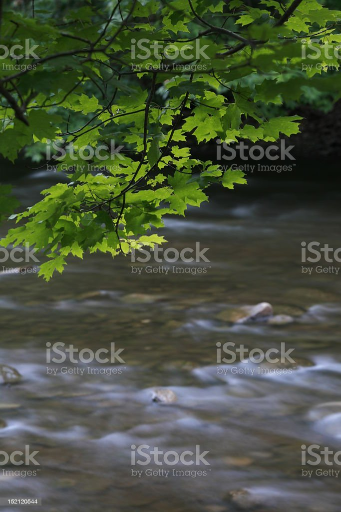 Maple and Stream in Summer royalty-free stock photo