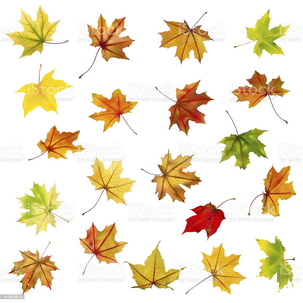 Maple autumn leaves collection stock photo