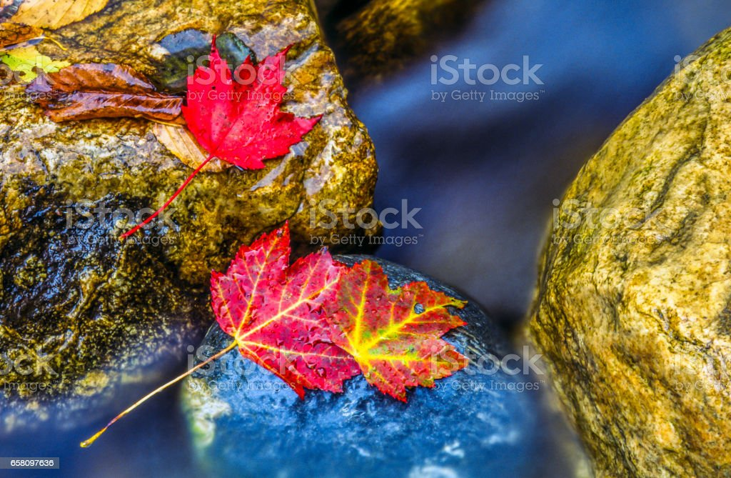 maple Autumn leaves royalty-free stock photo