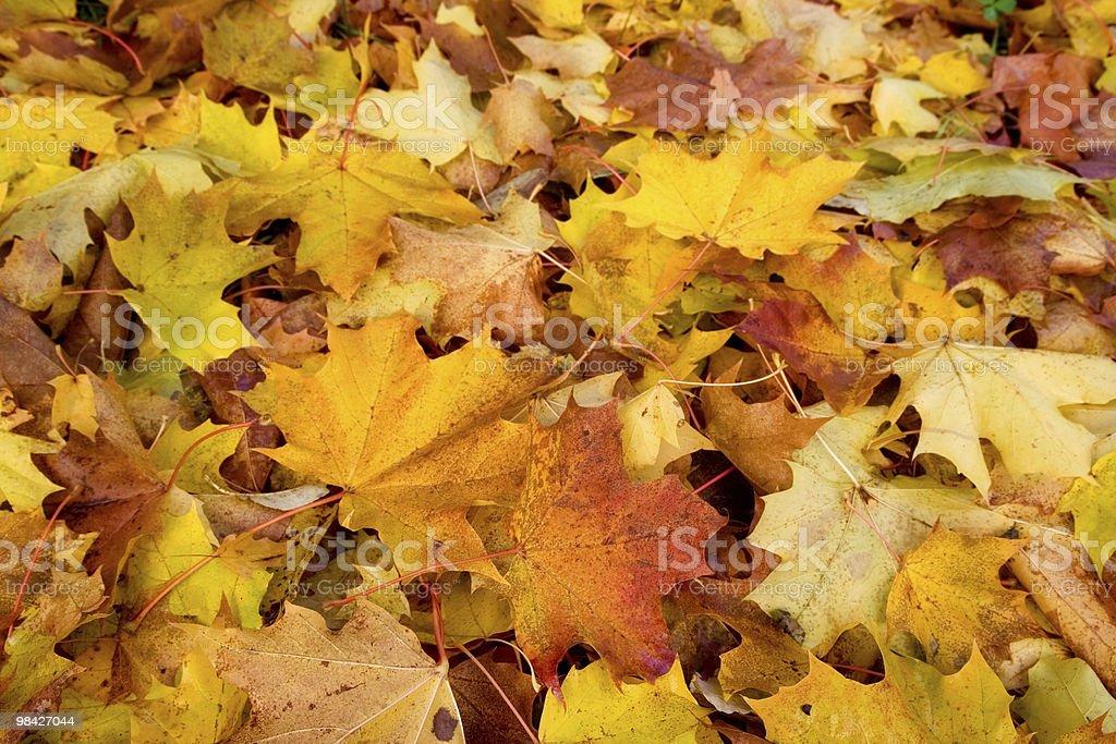 Maple Autumn royalty-free stock photo