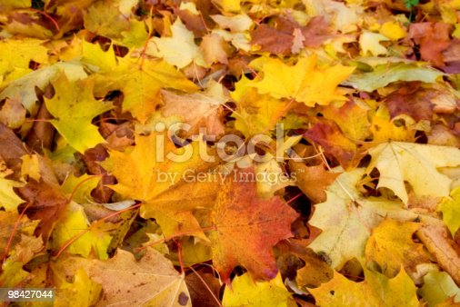 Maple Autumn Stock Photo & More Pictures of Autumn