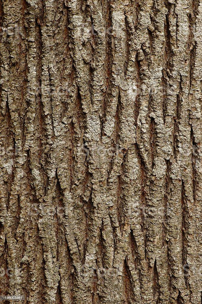 Maple bark background royalty-free stock photo