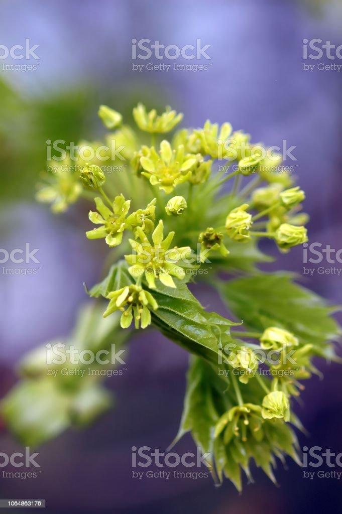 Maple Blossom, Detail – Foto
