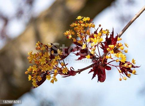 istock Maple Blossom 1329918251