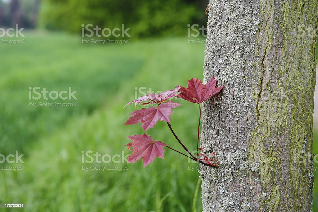 maple branch royalty-free stock photo