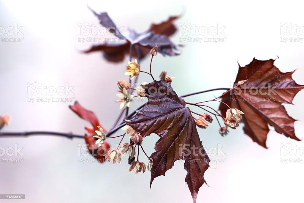 Maple branch stock photo