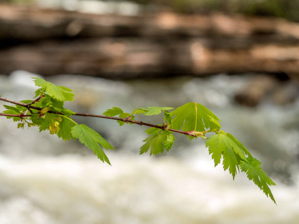 Maple branch with new growth, buds stock photo