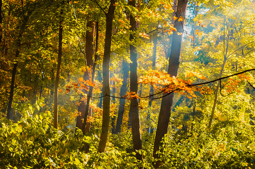 1038696838 istock photo maple branch with yellow leaves in the autumn forest 1137747640
