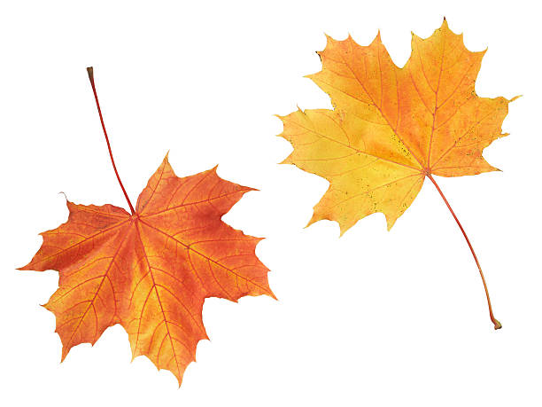 Maple colorful autumn leaves isolated on white background stock photo