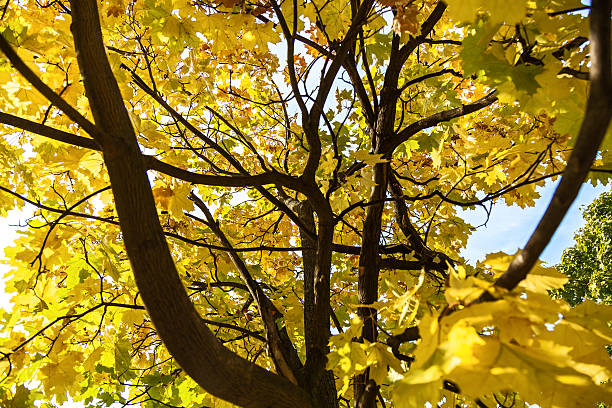 maple foliage - kelly green stock pictures, royalty-free photos & images