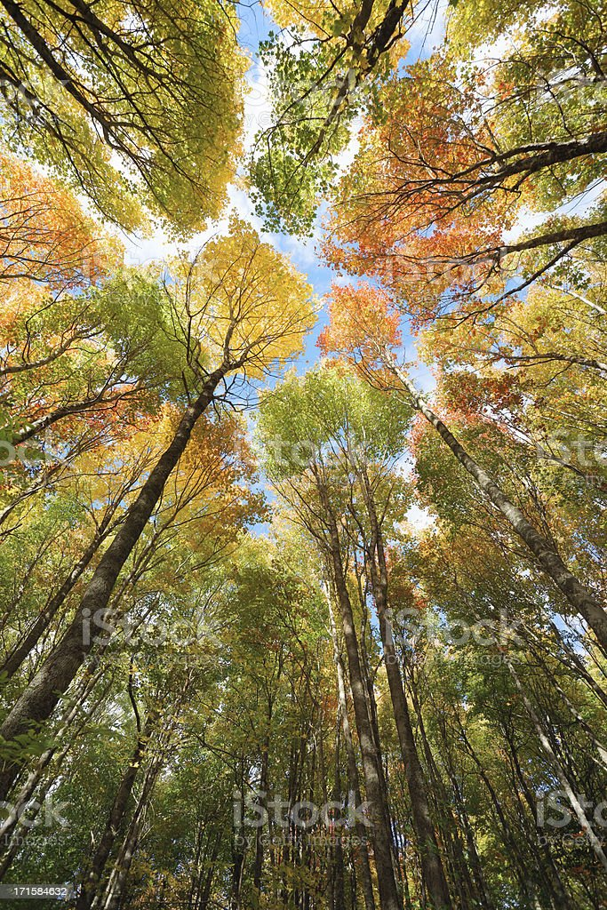 Maple forest canopy, Autumn. stock photo