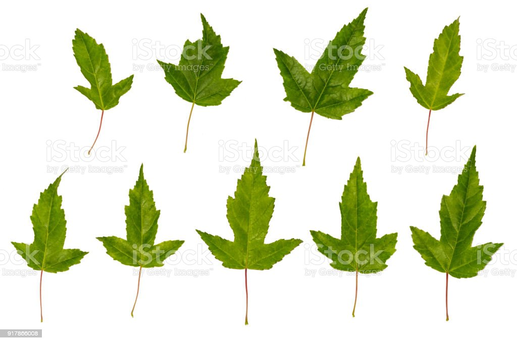 Maple ginnala. Uneven maple leaves. Wrong maple. Maple leaves isolated on white background stock photo
