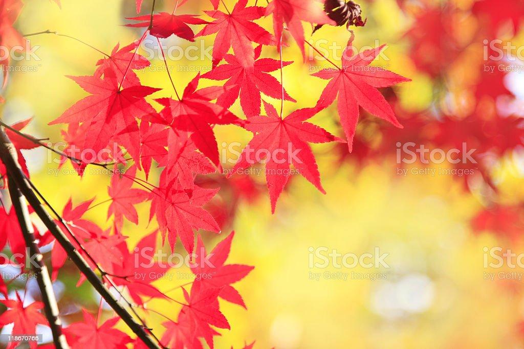 Maple Glow stock photo