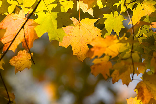 Maple in Autumn stock photo