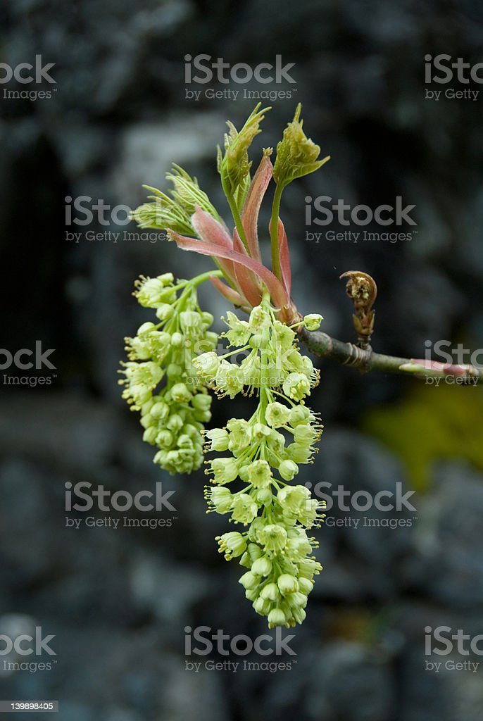 Maple In Bloom royalty-free stock photo