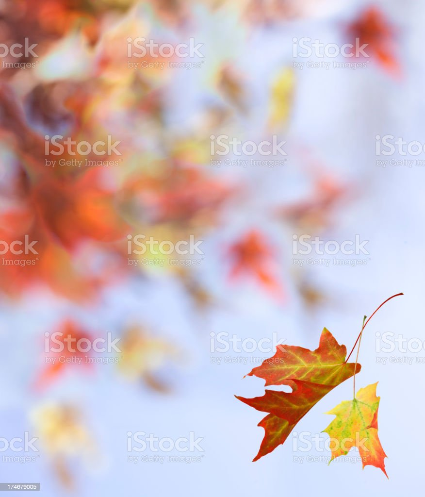 Maple Leaf Abstract royalty-free stock photo