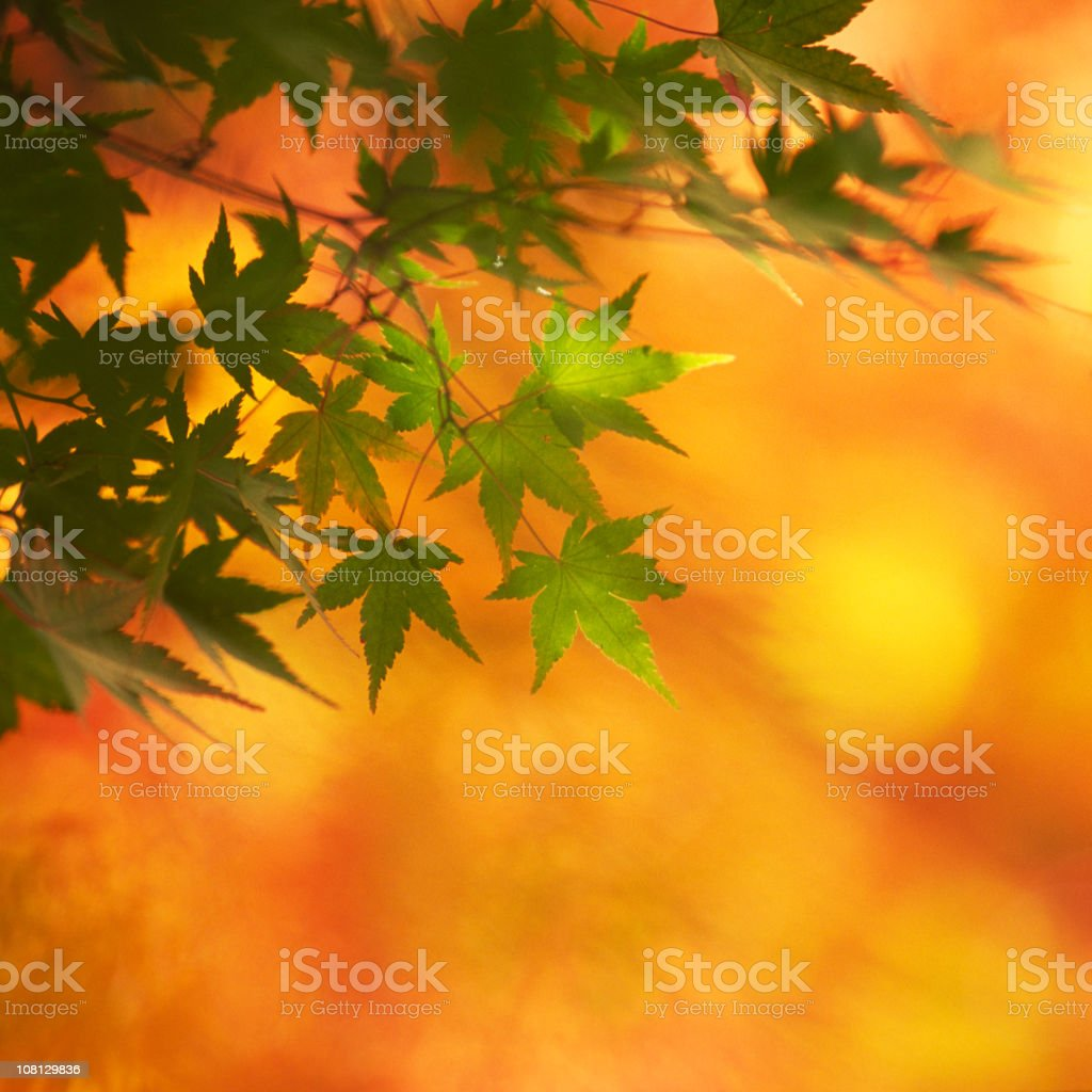Maple leaf against orange background royalty-free stock photo