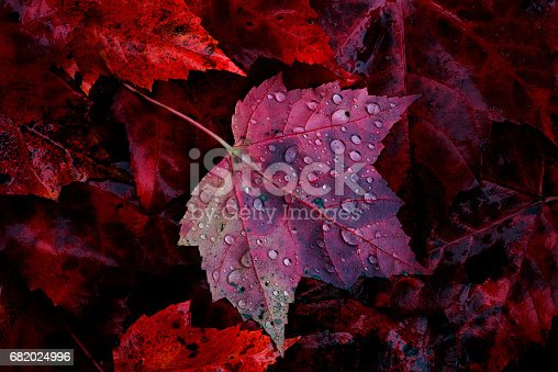 Maple leaf with rain drops resting on the forest floor among numerous red maple leaves in Michigan's Upper Peninsula