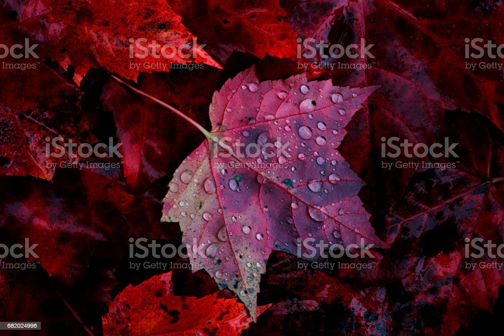 Maple Leaf and Rain Drops stock photo