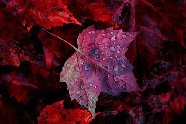 Maple Leaf and Rain Drops - foto stock