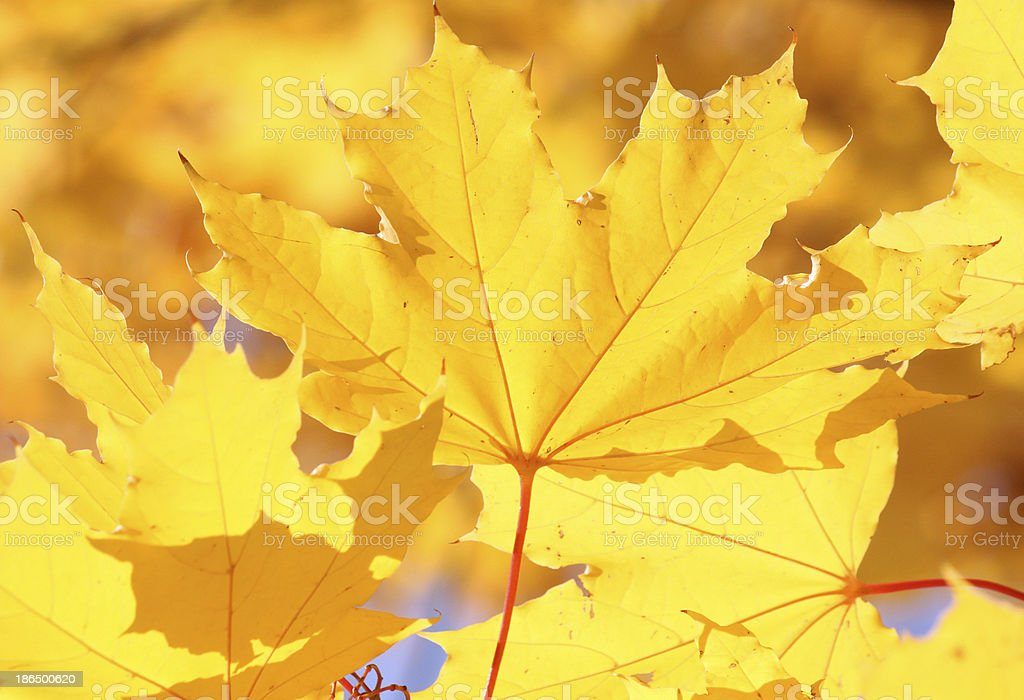 maple leaf at fall royalty-free stock photo