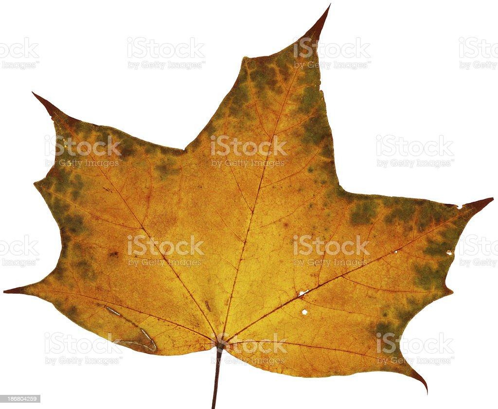 Maple Leaf Autumn royalty-free stock photo