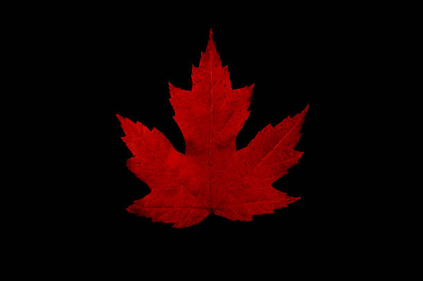 Maple Leaf black background stock photo