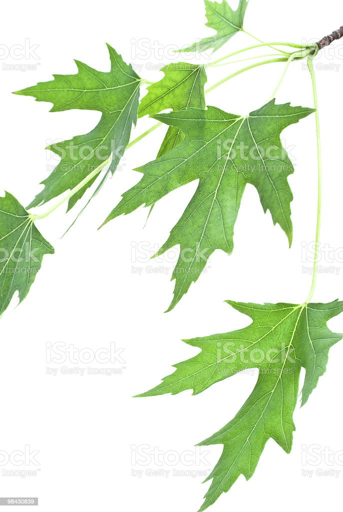 maple leaf branch royalty-free stock photo