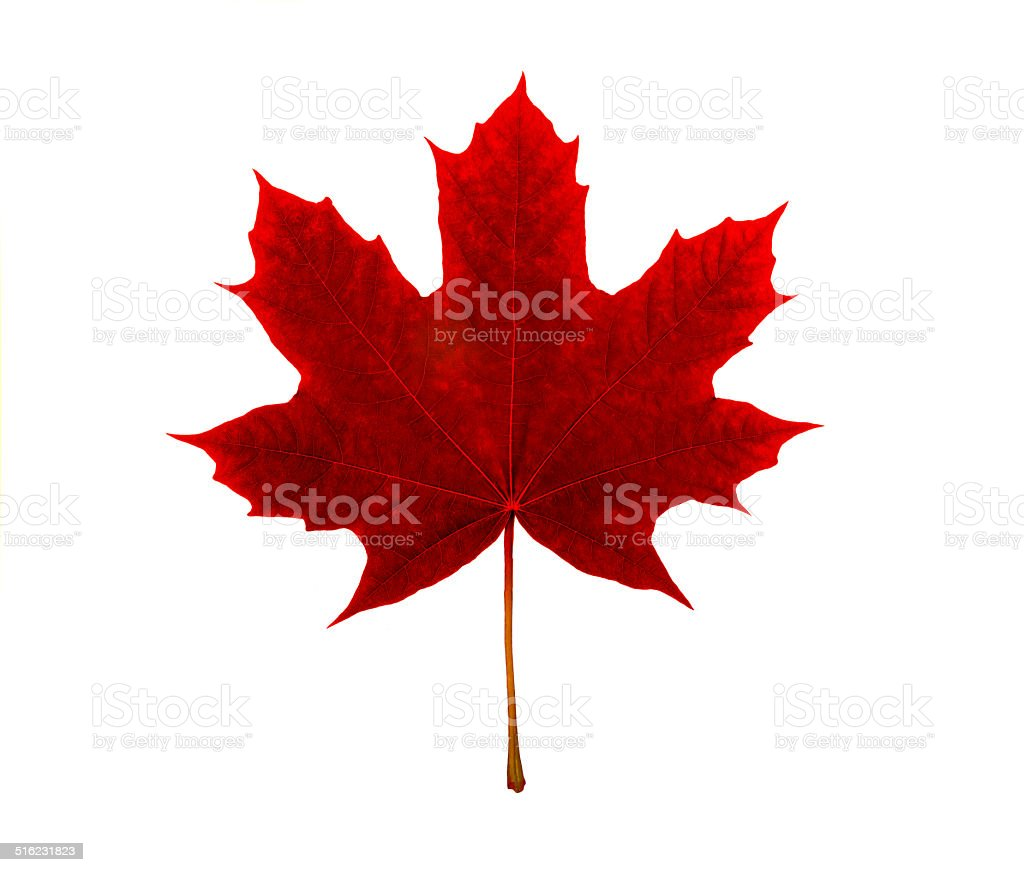 Maple Leaf Canadian Symbol On A White Background Stock Photo More