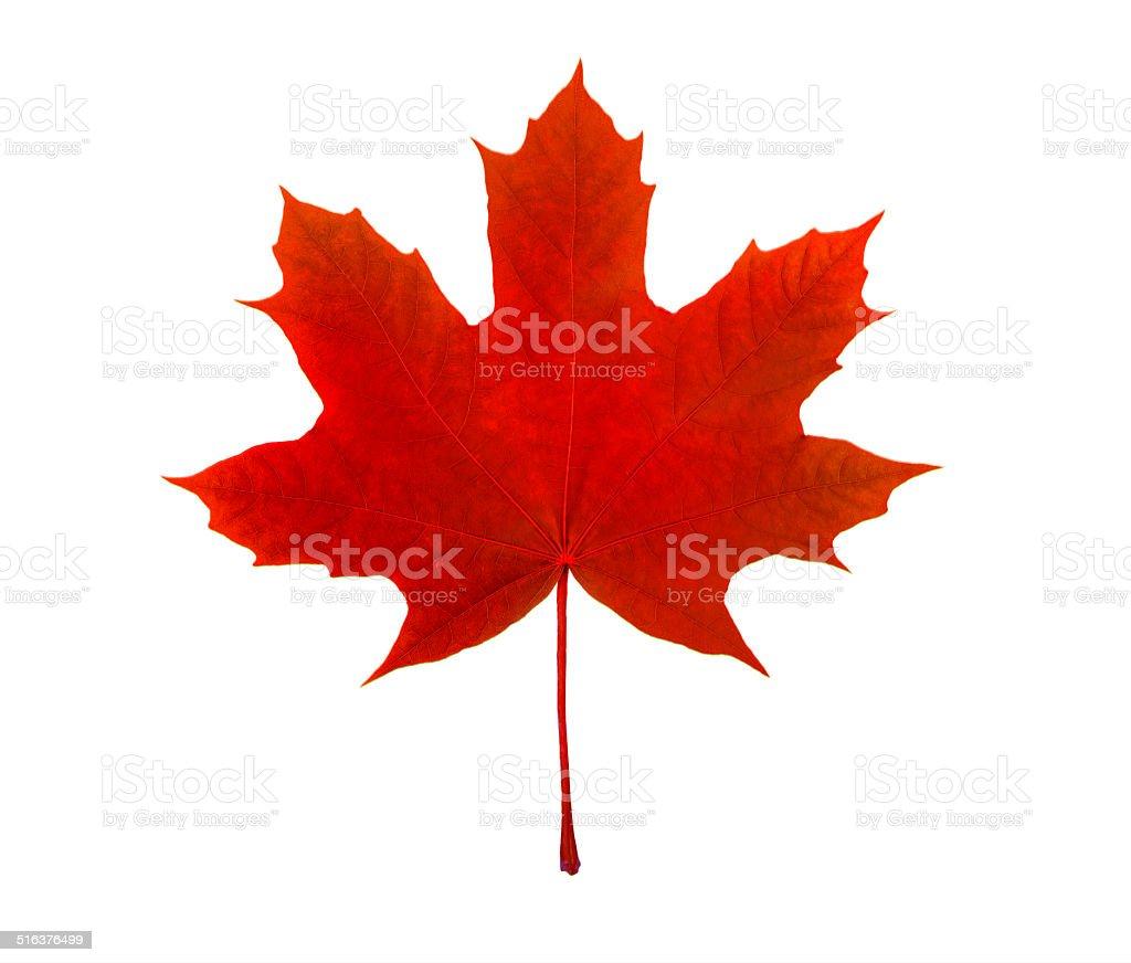 Hoja de arce canadiense, símbolo, sobre un fondo blanco - foto de stock