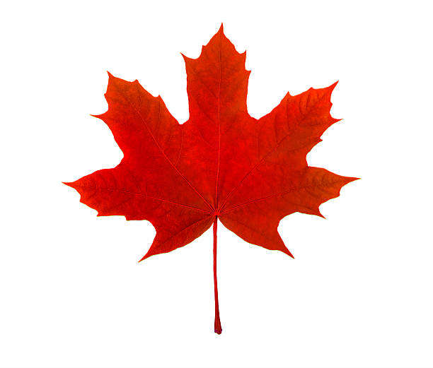 maple leaf, canadian symbol, on a white background - maple leaf stock pictures, royalty-free photos & images