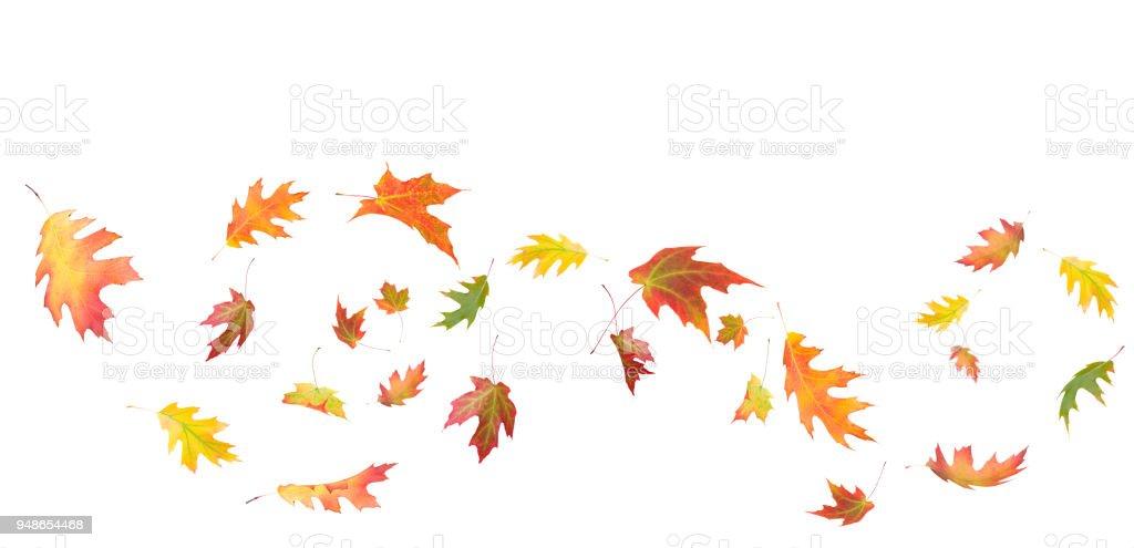 Maple leaf composition isolated on white - Zbiór zdjęć royalty-free (Liść)