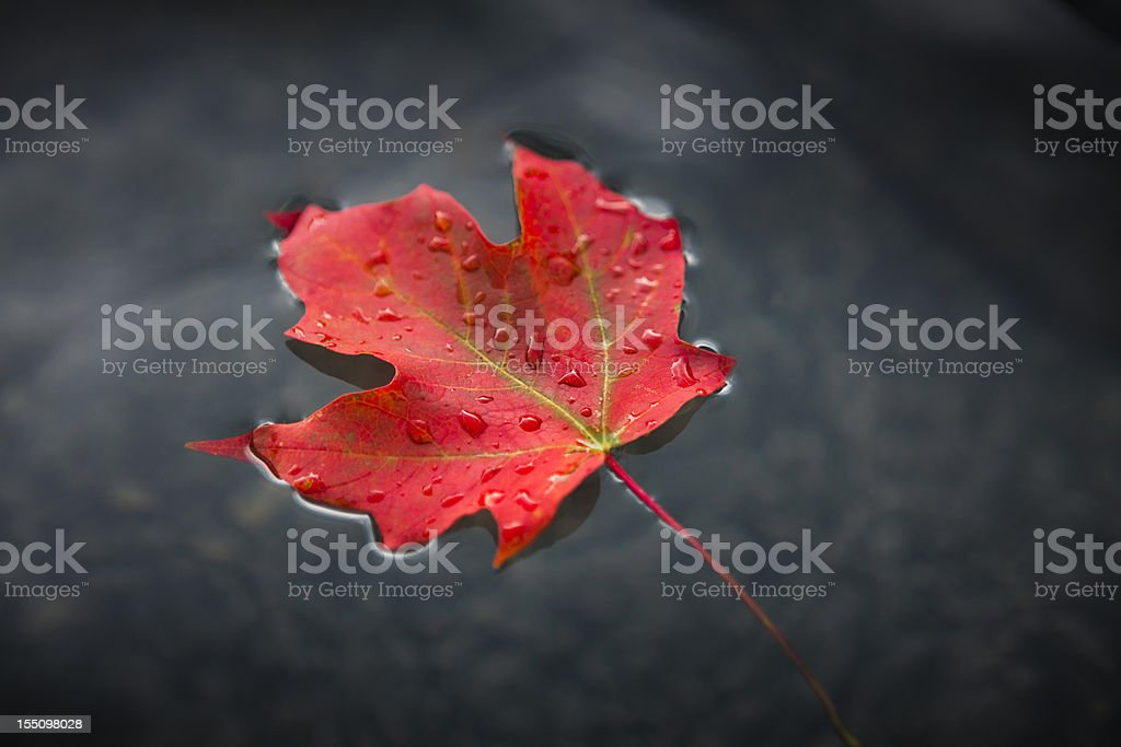 Maple leaf floating on fresh water stock photo