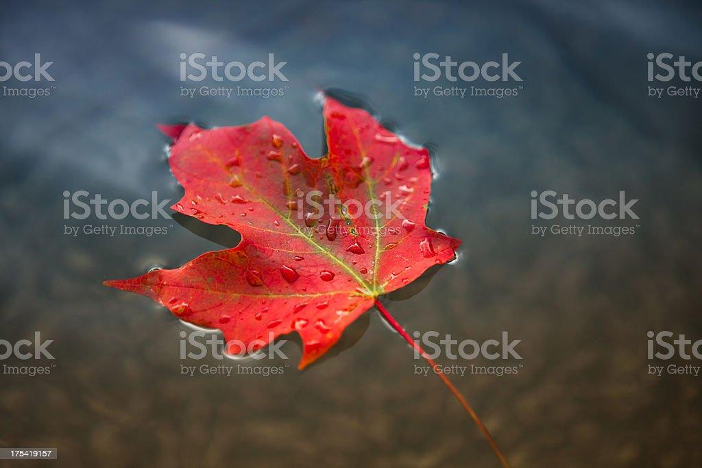 Maple leaf flutuando na água - foto de acervo