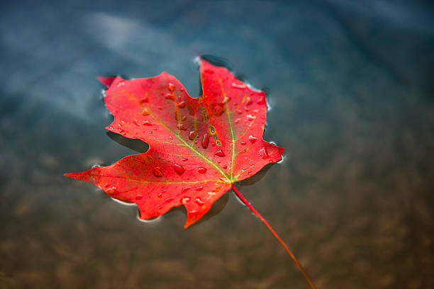 maple leaf floating on fresh water - maple leaf stock pictures, royalty-free photos & images