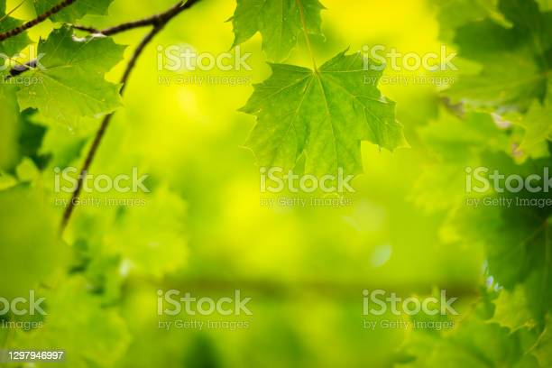 Photo of Maple Leaf forest