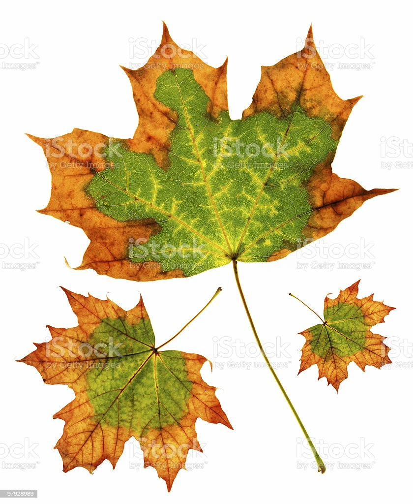 Maple leaf group royalty-free stock photo