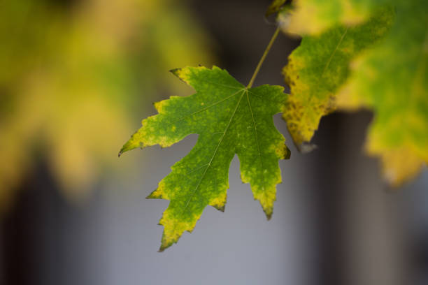 Maple Leaf Hanging on Tree in Late Autumn stock photo