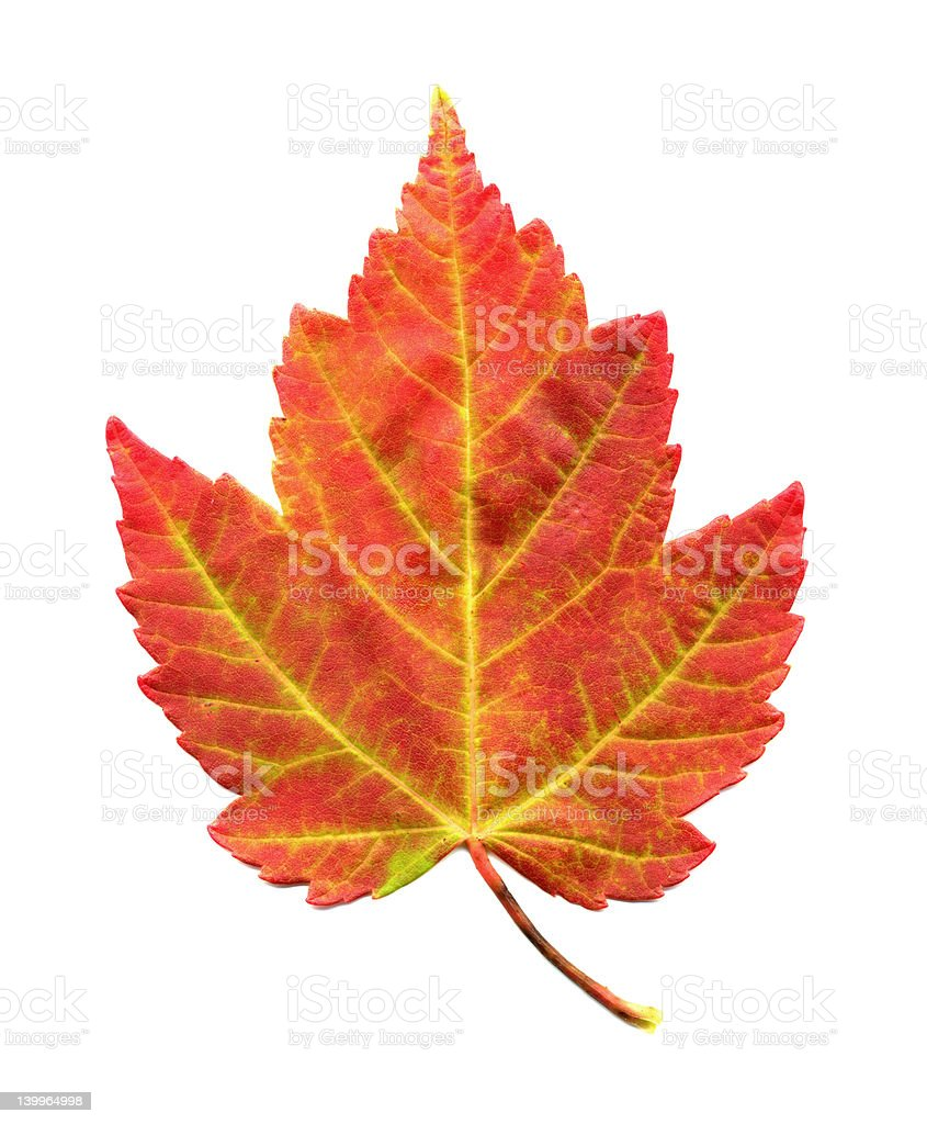 Maple Leaf in Fall Colors Isolated on White BG royalty-free stock photo