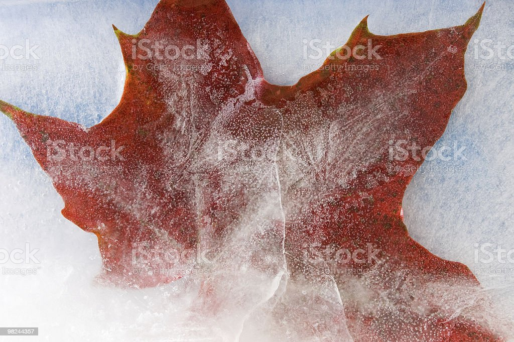 Maple leaf in ice royalty-free stock photo