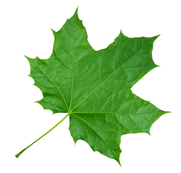 maple leaf isolated - green - maple leaf stock pictures, royalty-free photos & images