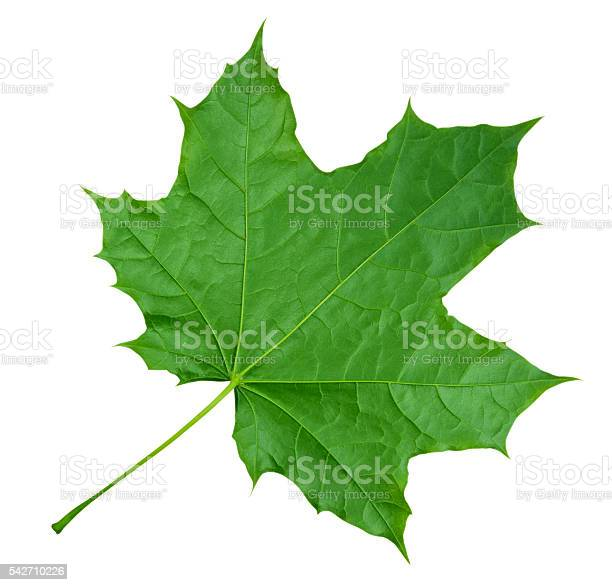 Photo of Maple Leaf isolated - Green